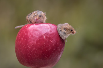 two harvest mice on an apple while one is emerging from a hole within the apple