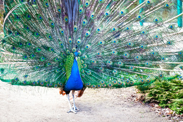 The peacock opened his tail