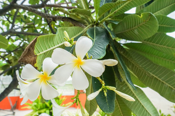 close up white Frangipani tree in beach garden