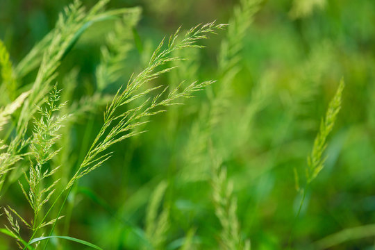closeup of grass ears - green meadow