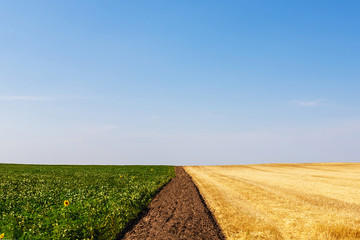 Harvested and unharvested fields separated by a strip of plowed land.
