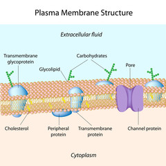Structure of plasma membrane