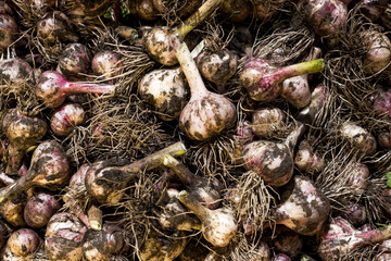Heap of garlic heads