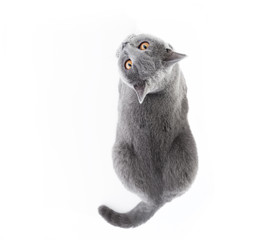 Foto op Plexiglas Kat British Shorthair cat isolated on white. Lying