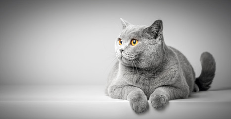 Fototapeta British Shorthair cat lying on white table. Copy-space obraz