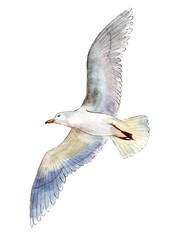 Watercolor seagull isolated on white background, hand drawn illustration.
