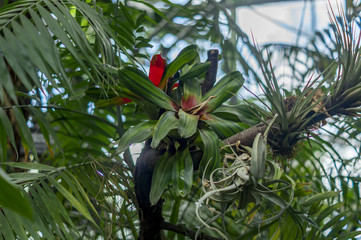 Bromelia marmorata in a tree in a forest