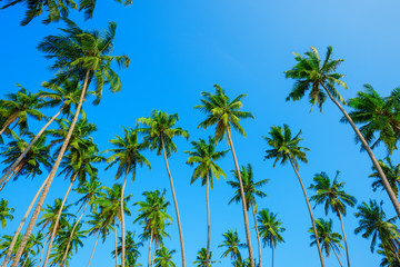 Tropical coconut palm trees on island with blue clean sky