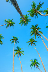 Palms over blue sky, perspective view from the ground up to the green palm crowns with coconuts