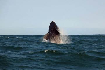 Southern whale jumping over the water, Hermanus