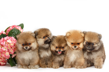 Five puppies of pomeranian on white background, dog