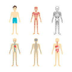 Cartoon Color Human Anatomical System Set. Vector