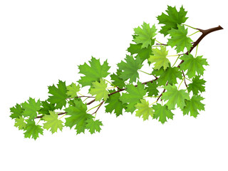 Maple branch with green leaves. Super realistic vector illustration, isolated on white background. Plant element for design cards about nature.