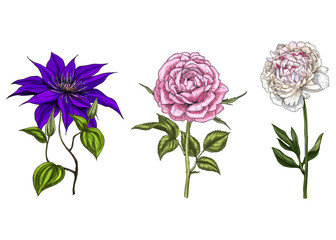 Set with peony, clematis and rose flowers, leaves and stems isolated on white background. Botanical vector illustration