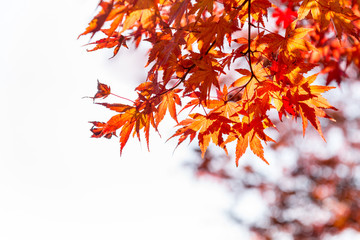 the beautiful autumn color of Japan red maple .leaves on whiite background