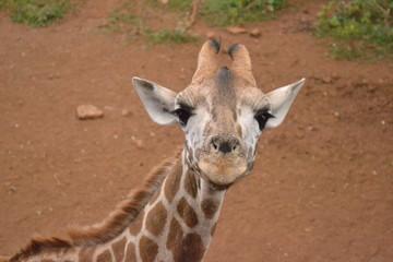 Baby Giraffe in Kenya