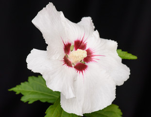 White Rose of Sharon Hybiscus Blossom