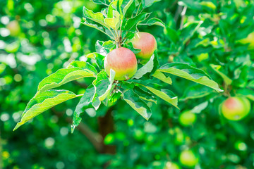 Fruit apples on a tree branch. Summer day
