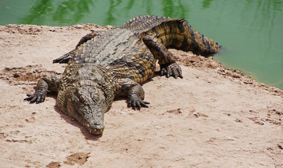 A nile crocodile on a shore of a lake