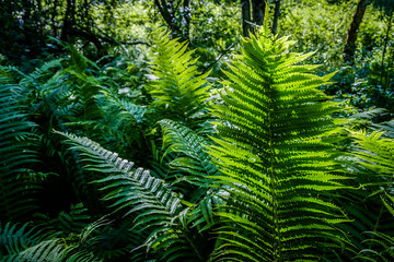 Bright green fern in a sun light as a background, close-up.