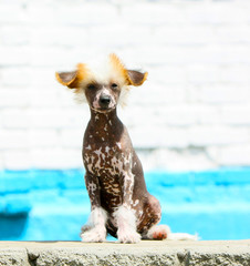 Chinese Crested sits on a brick wall background. Naked puppy with hair on his head and paws. A young spotted dog.
