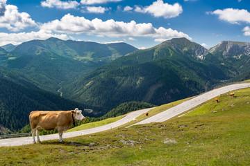 Straße in den Alpen-Pass Österreich mit einer Kuh