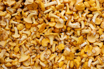 Fresh raw girolles