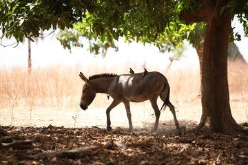 two birds sitting on an old donkey walking under a tree