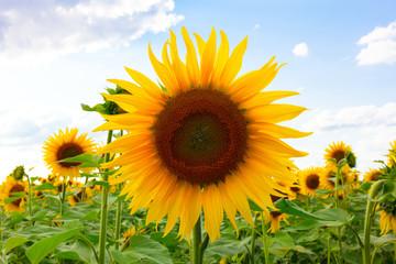 Sunflower Frontside Blue Sky, Sonnenblumen Sonnenblumenfeld Blüte Feld Landwirtschaft