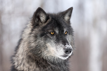 Fototapete - Black Phase Grey Wolf (Canis lupus) Profile Right