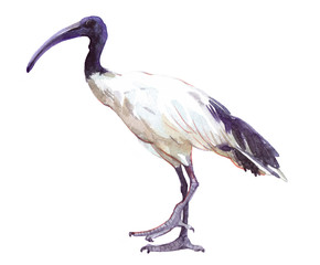Watercolor single ibis animal isolated on a white background illustration.