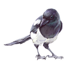 Watercolor single magpie animal isolated on a white background illustration.