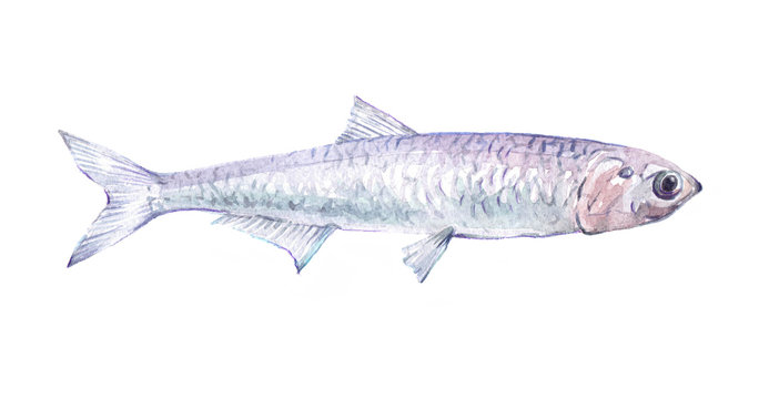 Watercolor single anchovy fish animal isolated on a white background illustration.