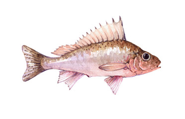 Watercolor single ruff fish animal isolated on a white background illustration.