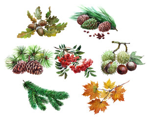 Watercolor set of plant acorn, chestnut, maple leaf, Rowan, cedar, cones,  tree needles isolated on white background.