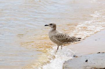Seagull walks on water.