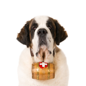Portrait of a Saint Bernard dog with typical keg barrel. White background.