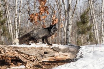 Silver Fox (Vulpes vulpes) Looks Up Atop Log
