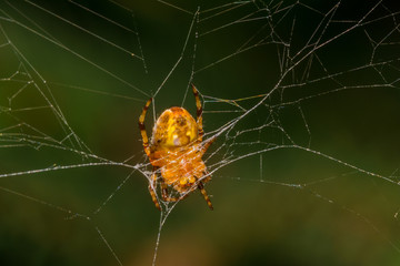 Yellow small spider