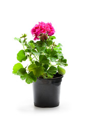 Colorful  Geranium flowers in a black flowerpot isolated on white