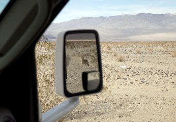 Coyote (Prairie wolf) in Death Valley, seen in car mirror