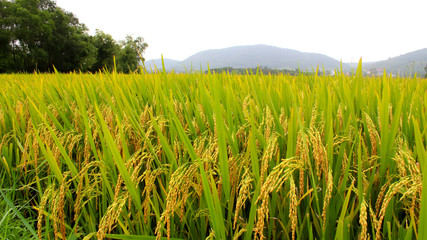 paddy field