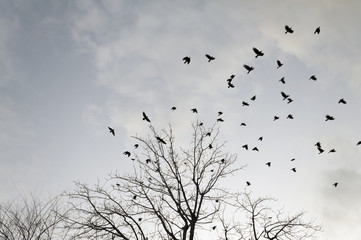 murder of crows in flight