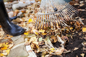 Cleaning of autumn leaves. Rake collected fallen yellow leaves