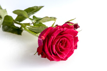 On a white background a very beautiful red rose