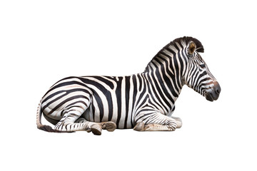 Fotobehang Zebra zebra isolated on white background