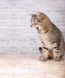 Katze Tropft Aus Maul