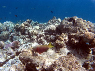 Tropical Coral Reef Fishes of Indian Ocean