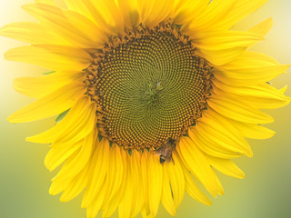 Sunflower with bee insect