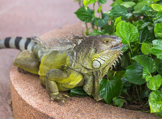 Close up portrait large lizard reptile green iguana (Iguana iguana) resting in natural